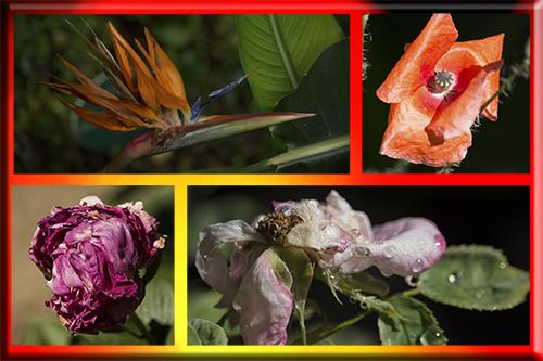 Flores_marchitas